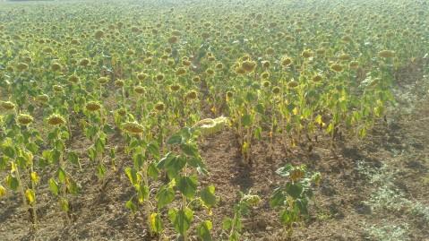 garcia-brothers-org-transalandus-experience-2013-sunflowers